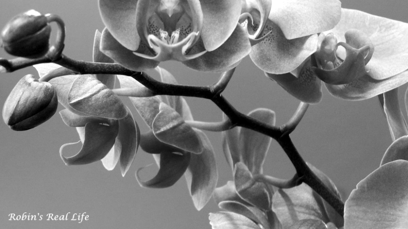 Orchid Buds Black and White Watermark