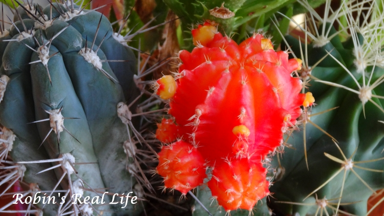 Cactus Orange Watermark